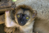 White-Fronted Brown Lemur Three Week Old Baby Photographic Print
