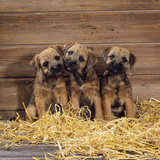 Border Terrier Dog Puppies in Barn Photographic Print