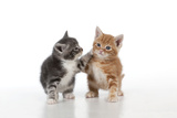 Ginger and Grey Tabby Kittens Playing Photographic Print
