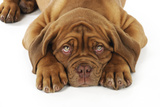 Dogue De Bordeaux Puppy Lying Down (Head Shot) Photographic Print