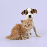 Cat and Dog Ginger Kitten and Jack Russell Terrier Puppy Photographic Print