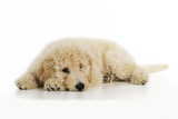 Goldendoodle Puppy Laying Down Photographic Print