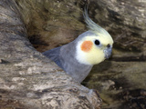Cockatiel at Entrance to Nest in Hollow Tree Photographic Print