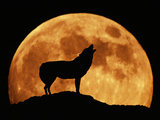 Wolf Howling at Full Moon, Side View in Silhouette Photographic Print