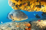 Grouper by Coral with Scuba Diver Fotografisk tryk