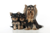 Yorkshire Terrier Sitting with Two Yorkshire Photographic Print