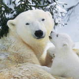 Polar Bear Parent with Cub Photographic Print