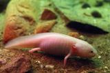 Axolotl Albino Specimen Photographic Print