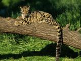 Clouded Leopard Resting on Log Fotografisk tryk