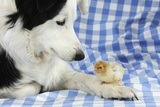 Chick Sitting on Border Collies Paw Fotografisk tryk