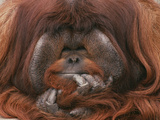 Bornean Orang-Utan Adult Male in Zoo Photographic Print