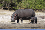 Hippo Mother with Young One Fotografisk tryk