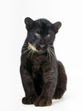 Black Panther Cub, 16 Weeks Old Fotografisk trykk