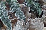 English Oak Rimed Leaves Photographic Print