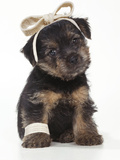 Norfolk Terrier Dog Puppy with Bandages Photographic Print