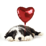 Bearded Collie Puppy Lying Down with Heart Photographic Print