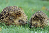 Hedgehogs Mother and Young in Grass Photographic Print