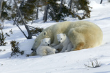 Polar Bear Sleeping Female and Cubs Photographic Print