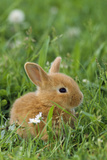 Miniature Rabbit Sitting in Grass Photographic Print