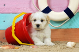 White Teddy Bear Puppy at the Beach in a Bucket Photographic Print