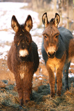Poitou Donkey and Normal Donkey (On Right) Facing Camera Photographic Print