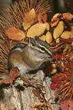 Least Chipmunk Among Leaves Photographic Print
