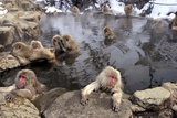 Japanese Macaque Monkeys Relaxing in Hot Springs Fotografisk trykk