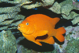 Garibaldi Fish Photographic Print