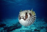 Black-Blotched Porcupine Fish Puffed Up Photographic Print