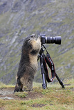 Alpine Marmot Standing Up at Camera on Tripod Lámina fotográfica