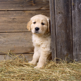 Golden Retriever Dog Puppy in Hay Barn Photographic Print