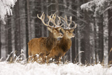 Red Deer Two Together in Winter Snow Photographic Print
