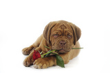 Dogue De Bordeaux Puppy Lying Down Holding a Rose Photographic Print
