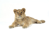 Lion Cub (Approx 16 Weeks Old) Lying Fotografie-Druck