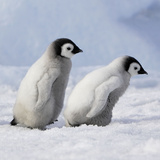 Emperor Penguins, 2 Young Ones Walking in a Line Photographic Print