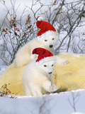 Polar Bear Two Cubs Wearing Christmas Hats Photographic Print