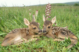 Roe Deer Fawns Lying in Grassland with Wild Orchids Photographic Print