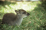 Blue Duiker Adult Male Sitting on Grass Photographic Print