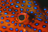 Coral Grouper, Close Up of Eye Photographic Print