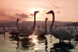 Whooper Swans at Sunset Impressão fotográfica