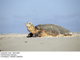 Hawksbill Turtle Lies on Sand Photographic Print