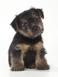 Norfolk Terrier Puppy, Sitting Photographic Print