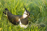 Northern Lapwing Male on Nest Reproduction photographique