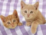Kitten on Purple Gingham Photographic Print