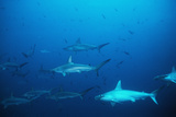 Scalloped Hammerhead Sharks an Amazing Sight Photographic Print