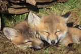 Red Fox 7 Week Old Cubs Sleeping Photographic Print