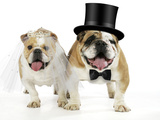 Bulldogs Male and Female Photographic Print