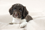 Springer Spaniel Puppies Laying on a Blanket Photographic Print