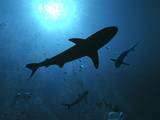 Grey Reef Sharks Swim Through the Divers Bubbles Photographic Print