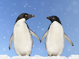 Adelie Penguin Holding Hands Photographic Print